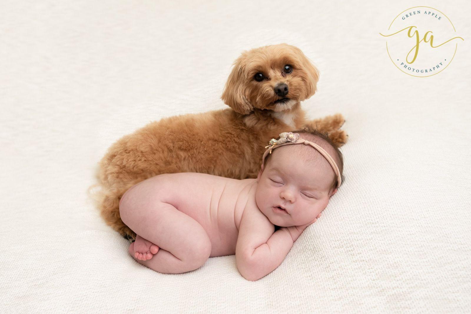 newborn photo with poodle dog